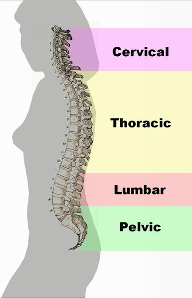 spinal-column-curvature-health
